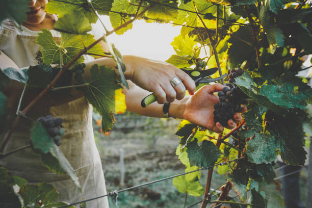 unrecognizable girl cuts the grapes with scissors. agrotourism farm concept - battle of the sexes concept stock pictures, royalty-free photos & images