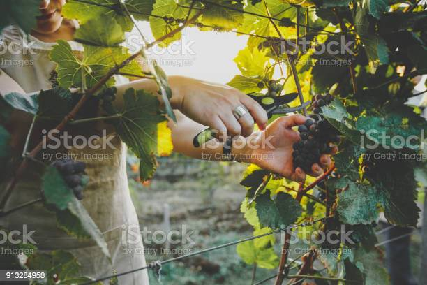 Unrecognizable Girl Cuts The Grapes With Scissors. Agrotourism Farm Coutryside Concept