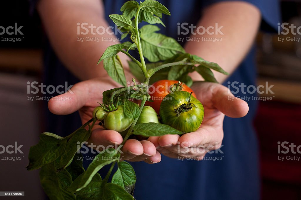 Unrecognizable Person holding a Variety of Fresh Tomatoes and Produce stock photo