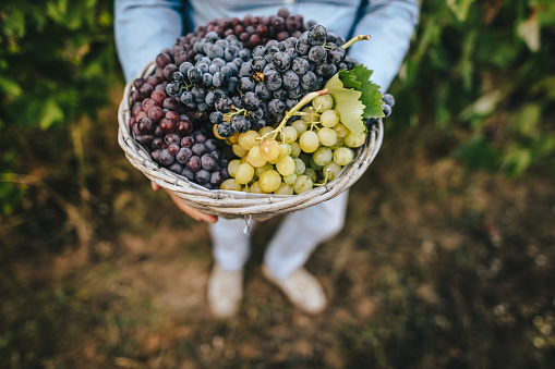 Unrecognizable senior woman holding a basket with grapes