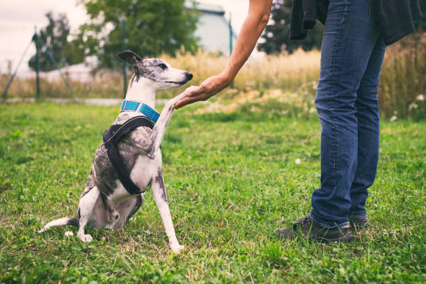 Unrecognizable woman holding her dog's paw in training stock photo