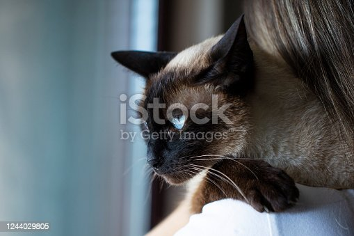 unrecognizable young woman holding a siamese cat