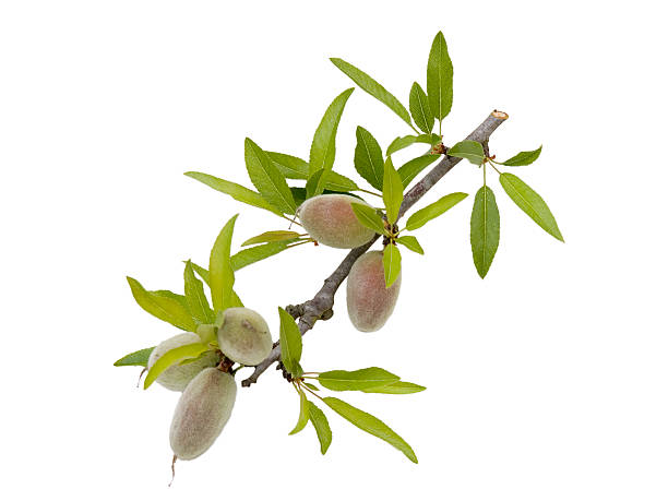Unripe almonds on a twig stock photo