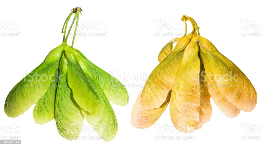 Unripe and ripe samara maple tree dried fruit close-up isolated on white background seed in spring stock photo