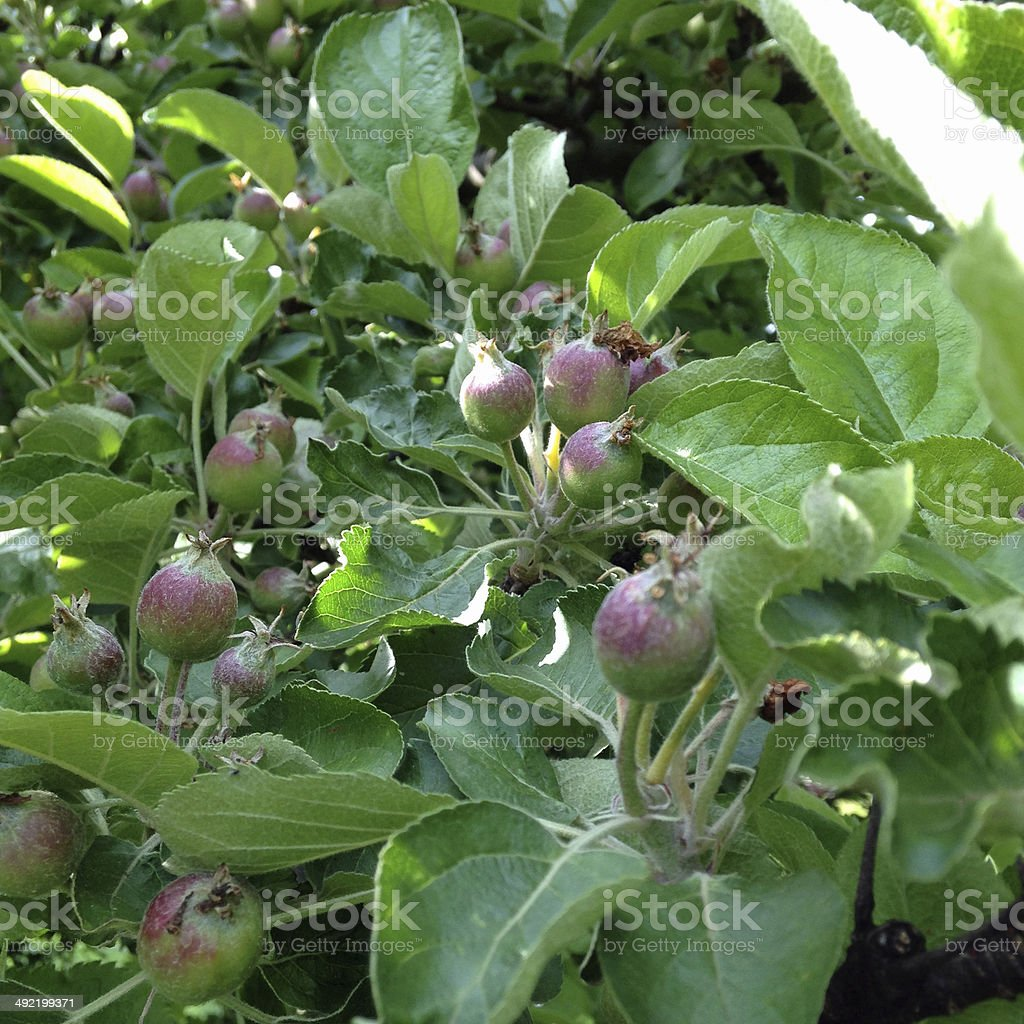 Unripe apples on the tree stock photo