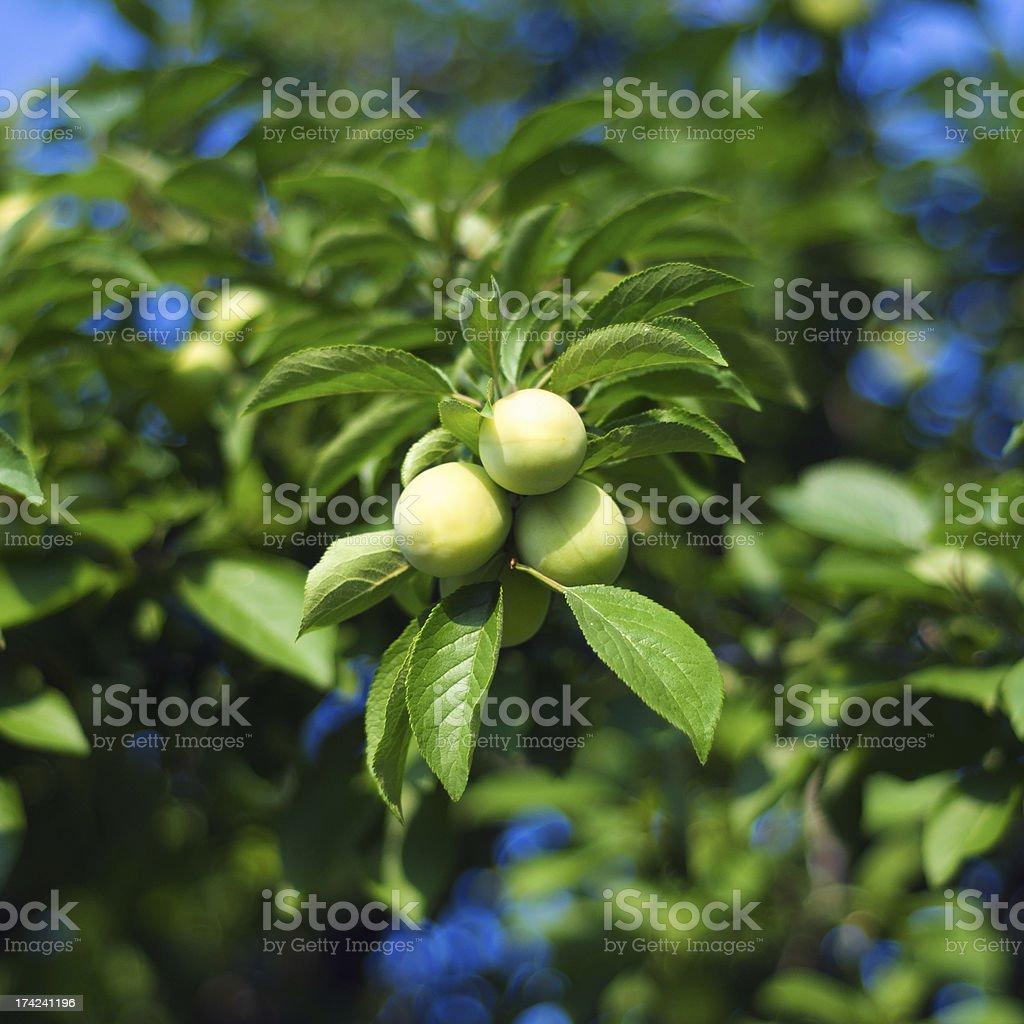Unripe apricot fruit royalty-free stock photo