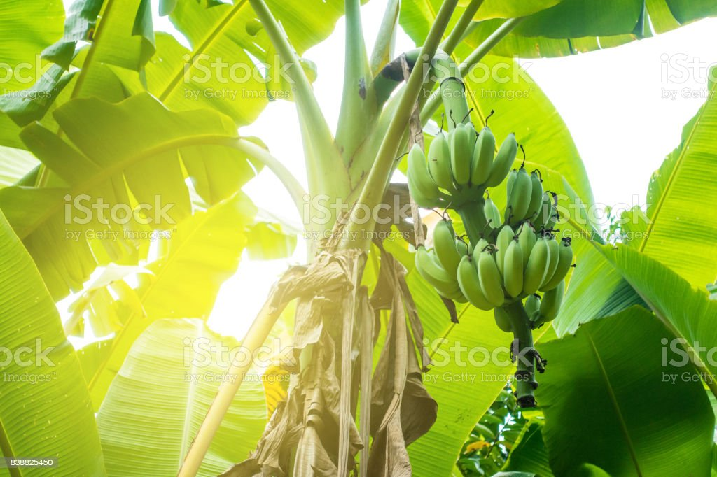 unripe banana on tree stock photo
