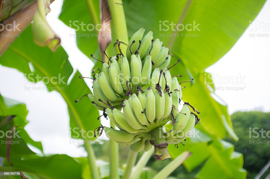 Unripe bananas in the jungle close up stock photo