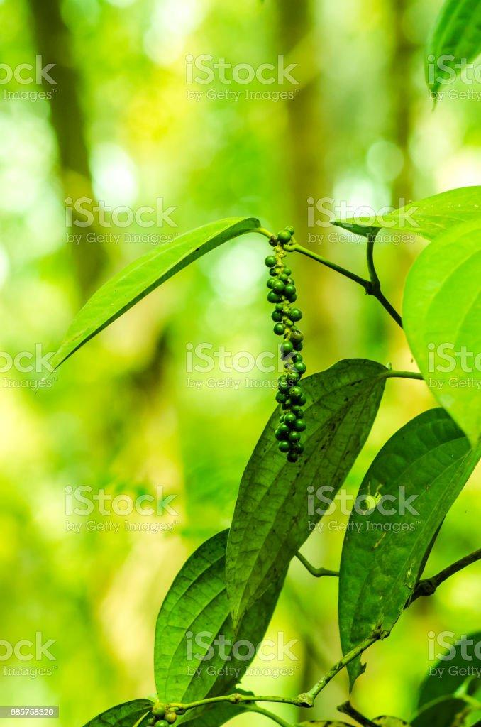 Unripe black pepper royaltyfri bildbanksbilder