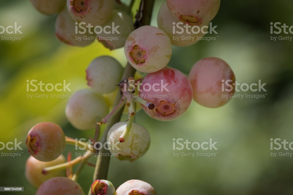 Unripe blueberries on stem stock photo