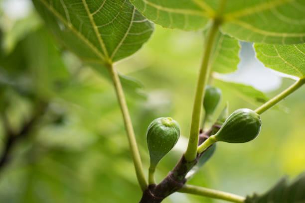 Unripe Celeste Figs on Tree stock photo