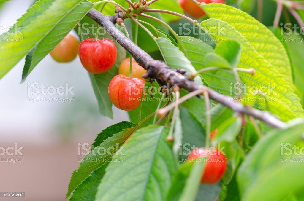 Unripe cherries on cherry tree. zbiór zdjęć royalty-free