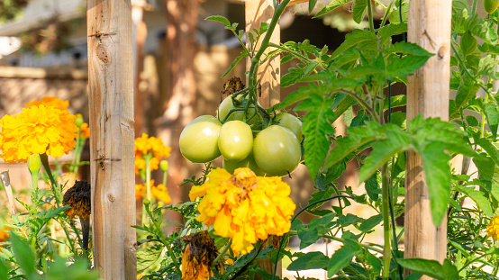 Unripe cluster of green plum roma tomatoes growing in a permaculture style garden bed, with companion planting of marigold and calendula flowers, to attract pollinators and detract garden pests.