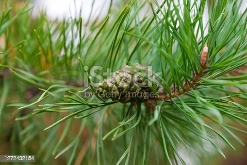 Unripe cone on a green coniferous tree with long needles in a park on a summer day. Food for wild animals - squirrels, birds, bears, chipmunks.
