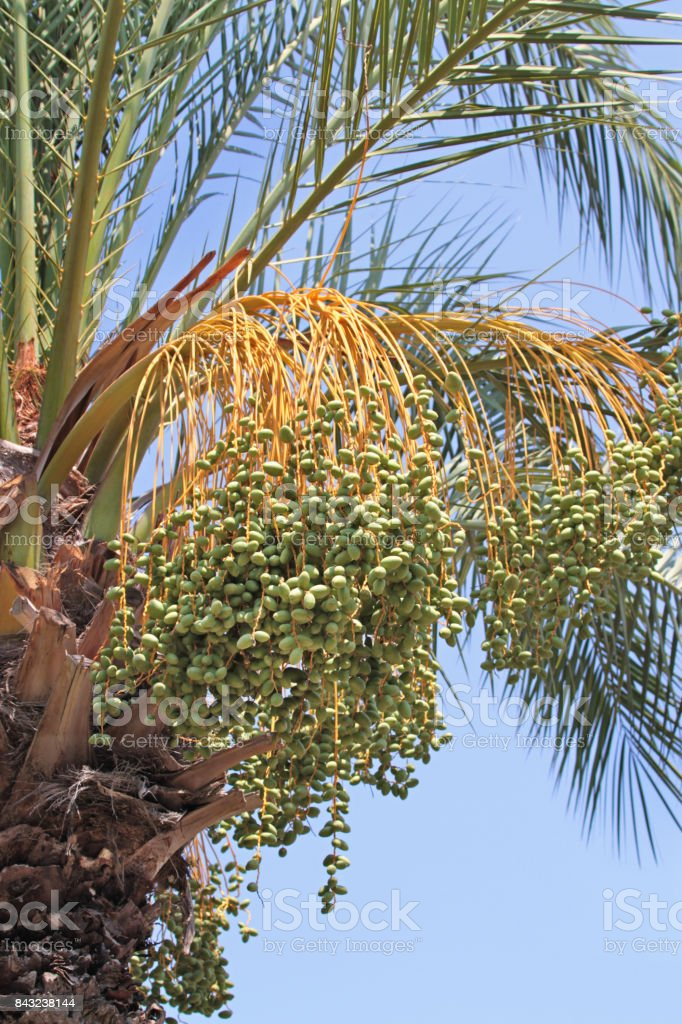 Unripe Dates On Date Palm Tree Stock Photo More Pictures Of