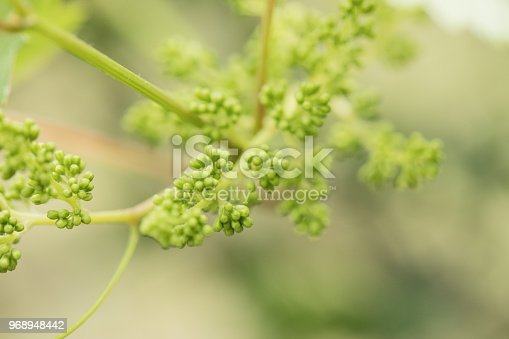 Unripe Grape fruits in vineyard. Extreme close-up, no people.