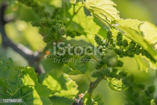Unripe Grape fruits in vineyard