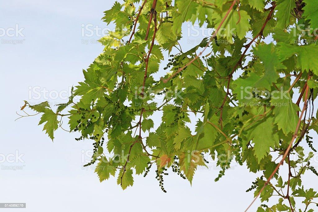 Unripe Grapes on Grapevine stock photo