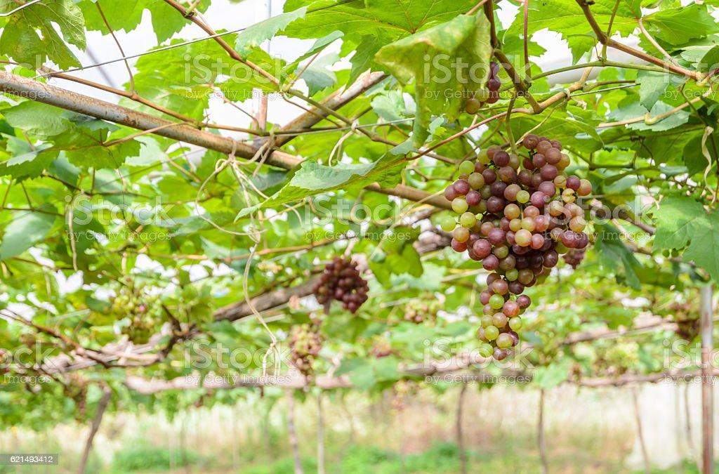 Unreif Weintrauben am Weinstock Lizenzfreies stock-foto