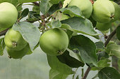 Unripe, green apple fruits on a branch of an apple tree.
