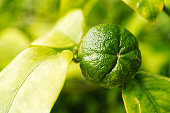 macrophotography of an unripe green fruit hanging at twig of an orange tree