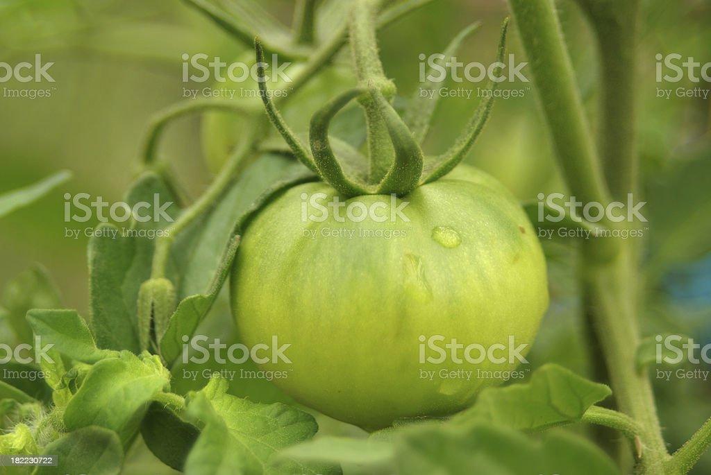 Unripe green tomato stock photo