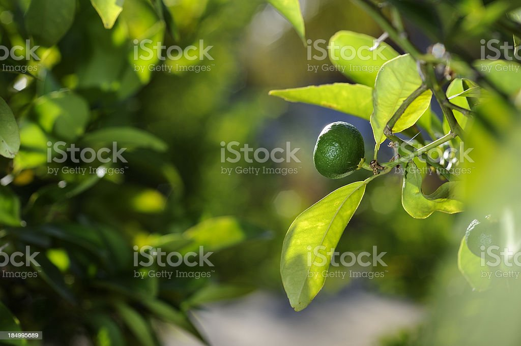 Unripe orange framed stock photo