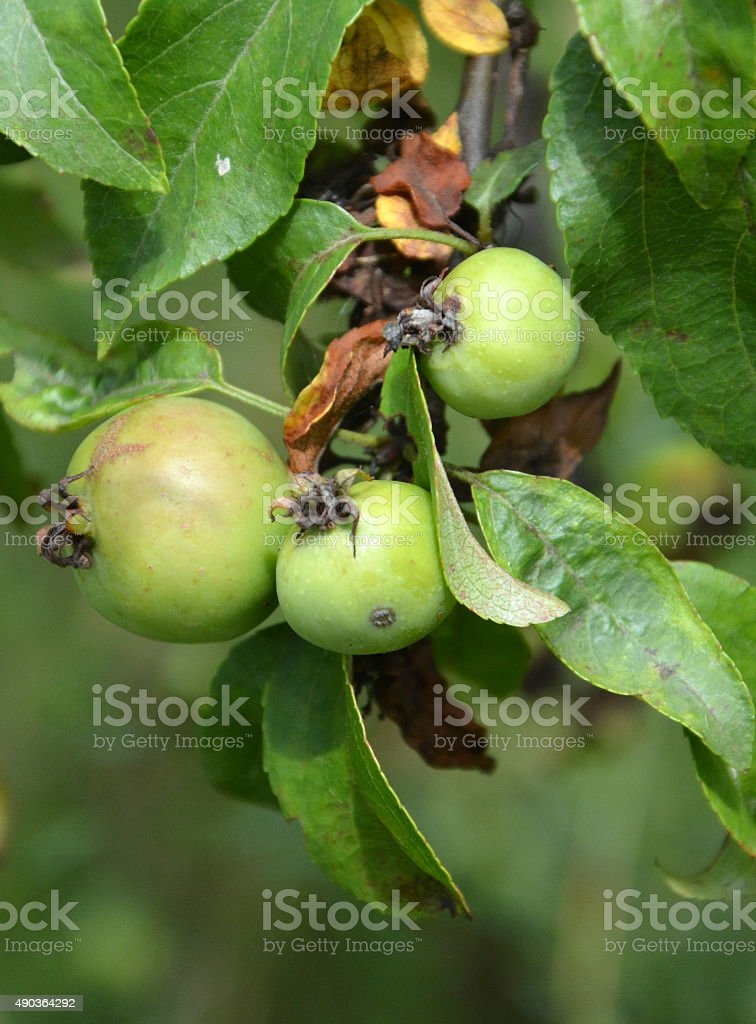 Unripe organic apples stock photo