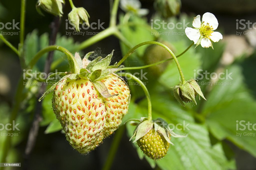 unripe strawberries stock photo