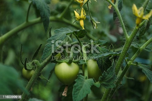 Unripe tomatoes growing on the garden bed. Fresh vegetables in the greenhouse on a branch with the green fruits. The shrub immature vegetables on stems. Young selected fruit on bush. Soft focus.