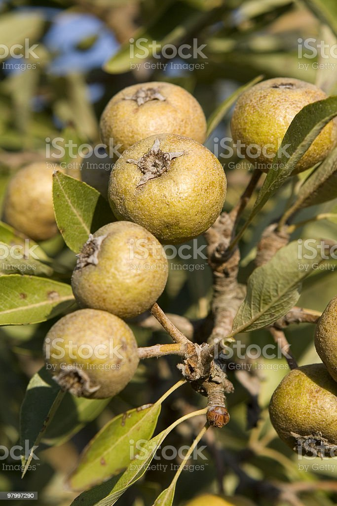 Unripe wild pears in Sardinia,Italy. royalty-free stock photo