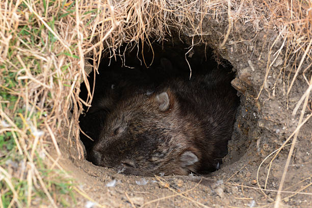 unseen action in wildlife for wombat, in tasmania, australia - wombat stock photos and pictures