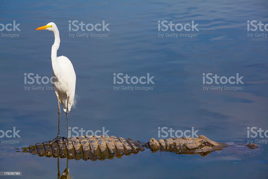 Unseen Danger; Bird Stands on Alligator's Back royalty-free stock photo