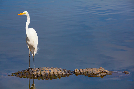 Unseen Danger; Bird Stands on Alligator's Back