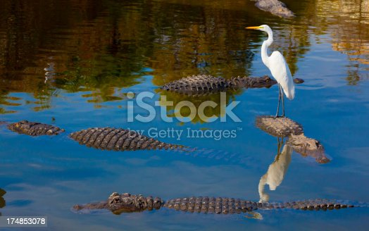 Unseen Dangers; Foolish Bird Stands on Alligator's Back