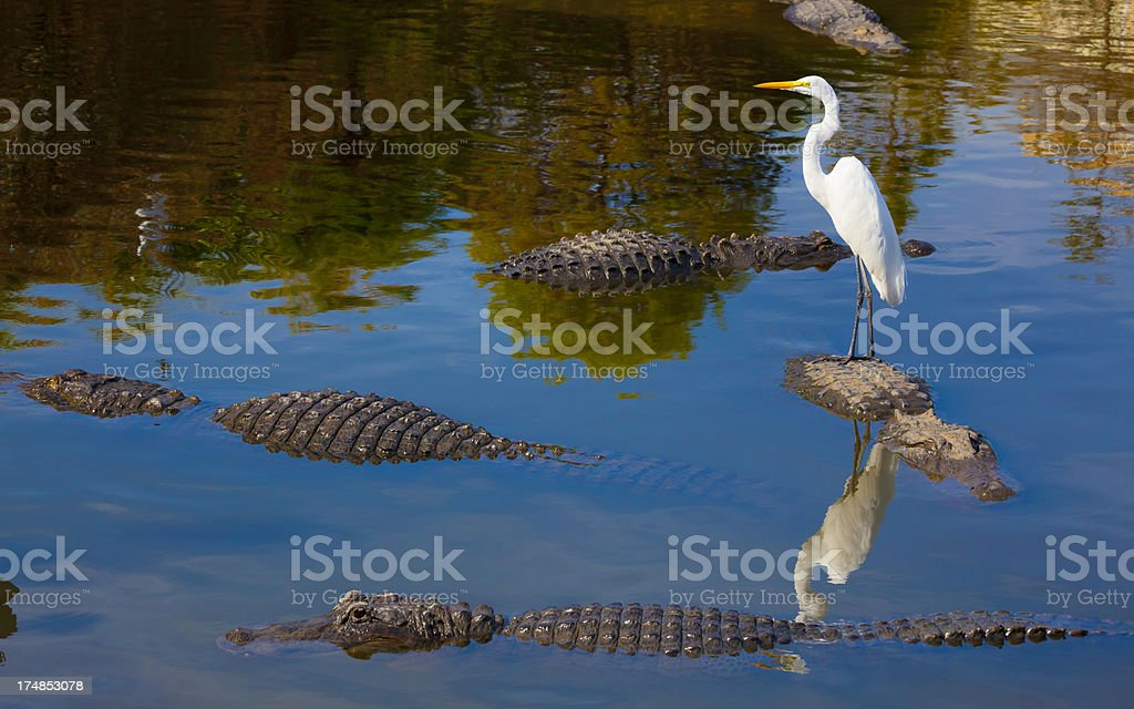 Unseen Dangers; Foolish Bird Stands on Alligator's Back stock photo