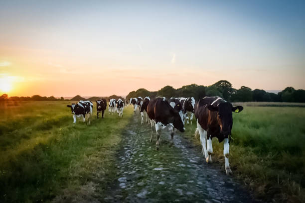 Until the cows come home Cattle heading home at sunset dairy cattle stock pictures, royalty-free photos & images