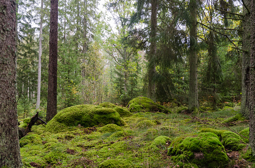 Untouched forest with moss covered floor