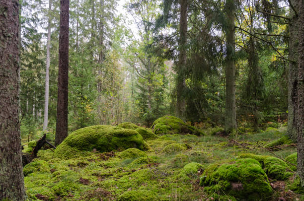 Untouched forest with moss covered floor stock photo