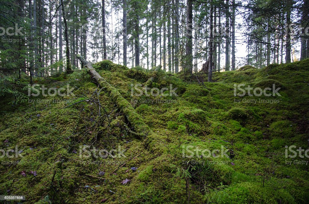 Untouched old forest stock photo