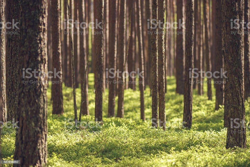 Unberührten Fichte Kiefernwald – Foto