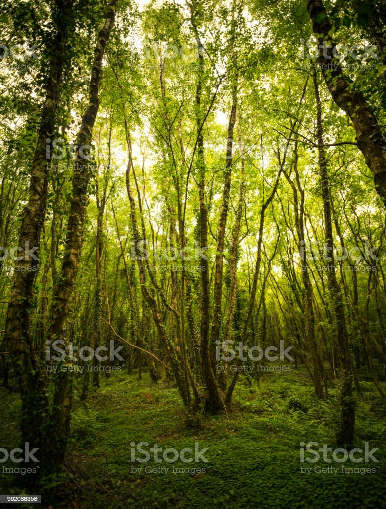 Untouched trees in virgin forest (XXXLarge) stock photo