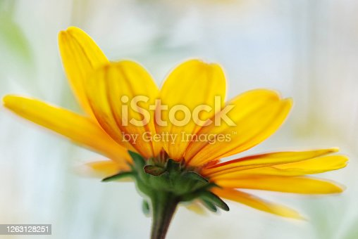 Heliopsis flower seen from below with a pale sky marbled white background.