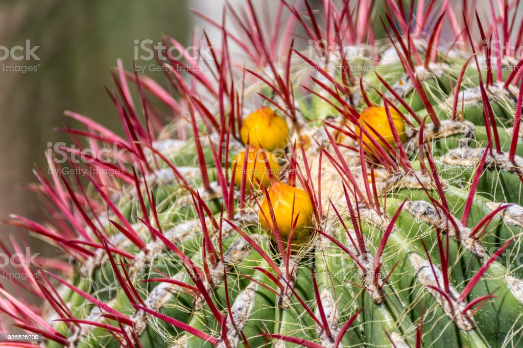 Unusual Flowering cactus plant in Morocco stock photo