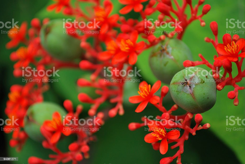 Unusual Grape Like Pods and Red Flowers of the Jatropha royalty-free stock photo