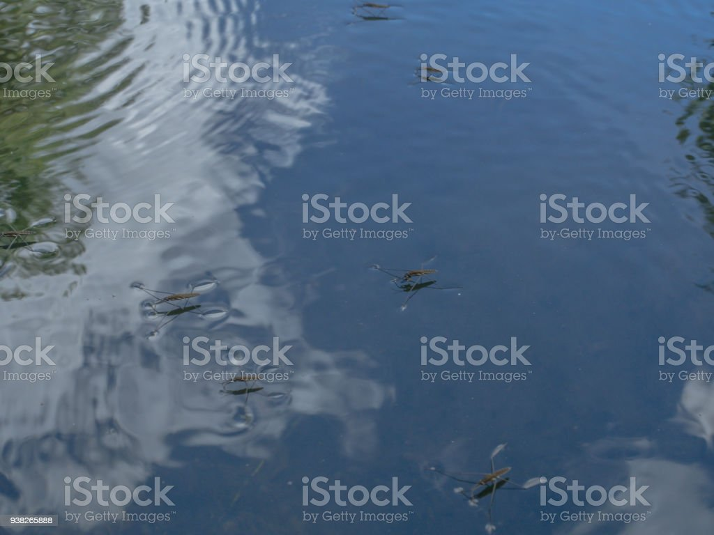 Unusual insect  walking on water stock photo