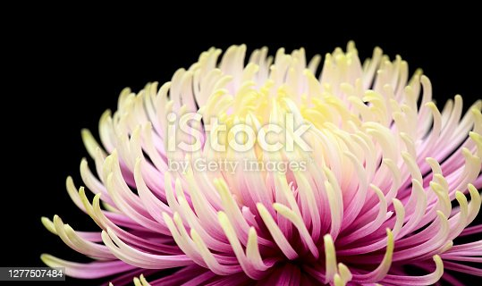 Unusual light green and purple star chrysanthemum isolated on black background