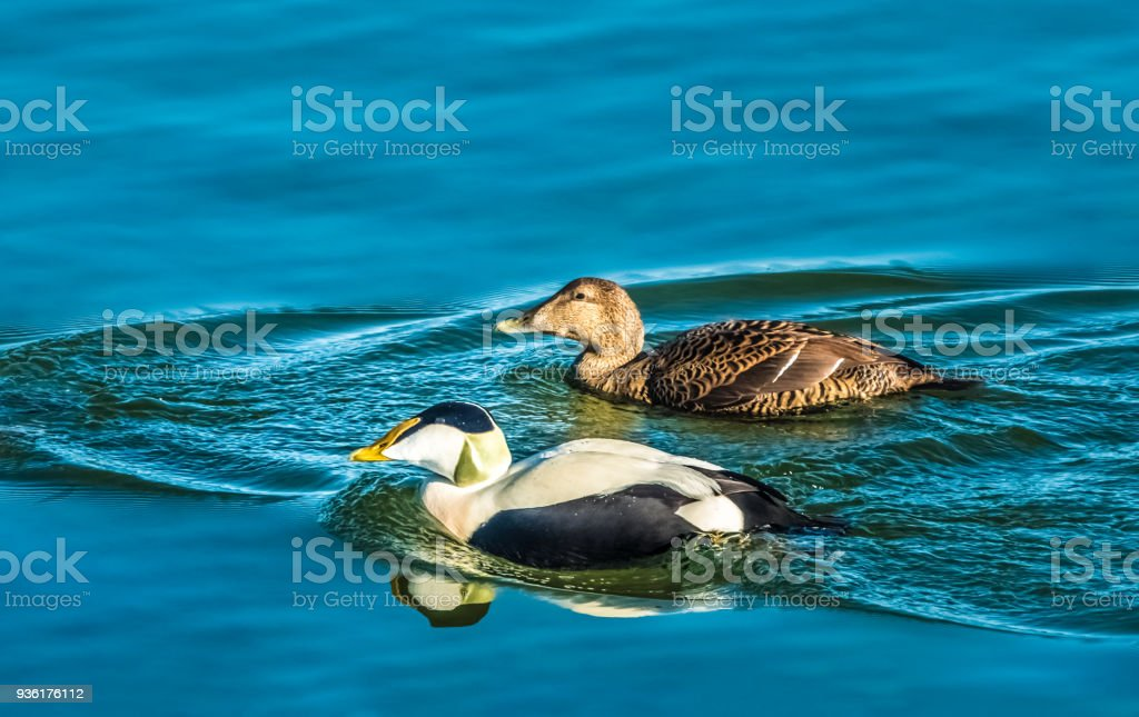Unusual local adaptation of Edier ducks on the shores of the upper Zurich lake, adopting a non-migratory life in fresh waters, eating lake shells, Switzerland stock photo