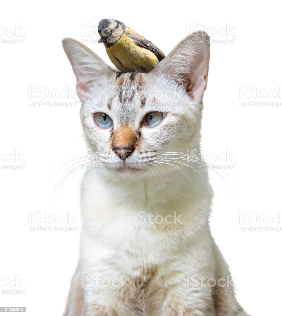 Unusual pet friendship between a cute cat and little bird, isolated on a white background stock photo