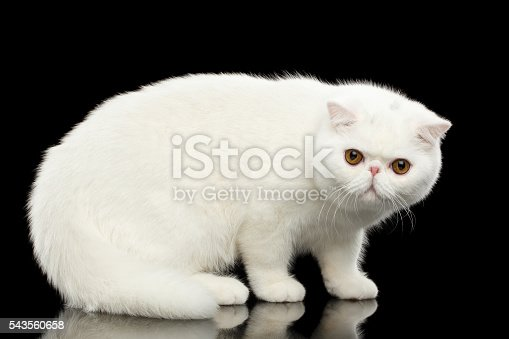 istock Unusual Pure White Exotic Cat, Red Eyes, Isolated Black Background 543560658
